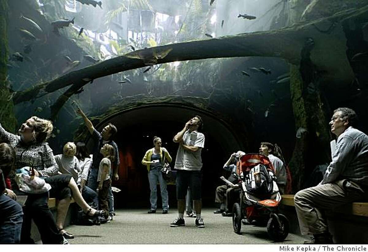 In the tunnel of the Amizonian Flooded Rainforest, Bob Lake (center) watches as fish swim overhead at the Academy of Sciences.