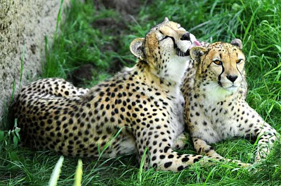 In this photo taken May 25, 2010,  female cheetah Rukia, left, grooms Chiku, as they take a break in the shade at The Indianapolis Zoo where a new cheetah exhibit opens this weekend. Photo: Matt Detrich, AP