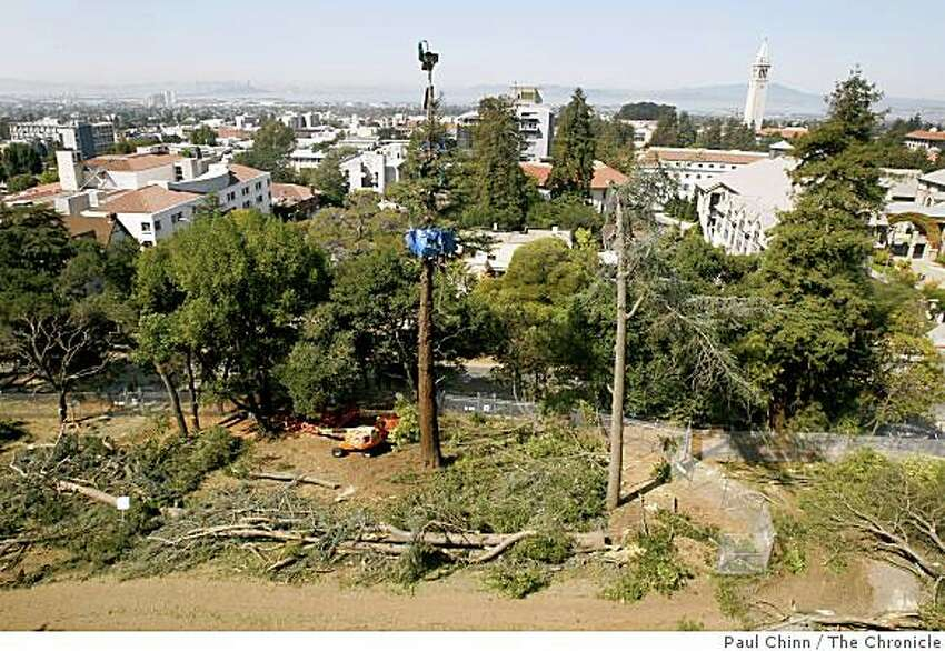 Crews have already removed most of the trees surrounding one tree occupied by four protesters (center) in an oak grove next to Cal's Memorial Stadium in Berkeley.