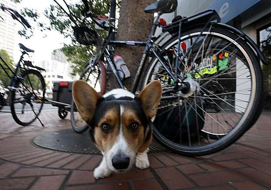 Watch Dog -  7:30 a.m. - Market Street, San Francisco.   I was waiting for the mayor to show up on his bicycle at a Bike to Work Day event on Market Street when I caught the gaze of Dusty the Cardigan Welsh Corgi who kept a close eye on me while he was guarding bicycles.  Camera settings: Canon EOS-1D MkIII, ISO 800, 1/50, f10, 16mm Photo: Paul Chinn, The Chronicle