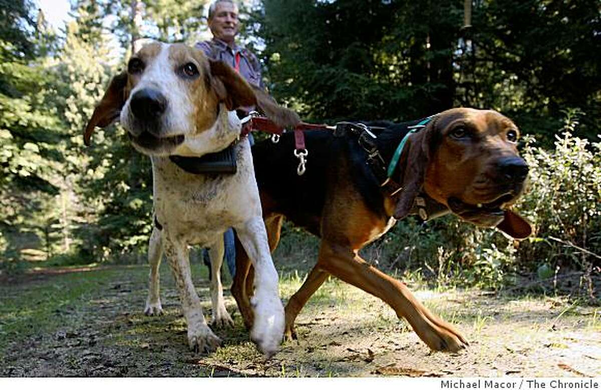 Houndsman, Cliff Wylie leads his dogs, Cleo, (left) and Cotton on hte trail of a nearby mountain lion near Santa Cruz, Calif on Thursday Jan. 1, 2009. Wylie works for the California Department of Fish and Game.