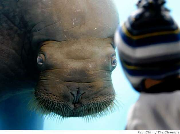 Siku the walrus meets a young visitor face-to-face. Photo: Paul Chinn, The Chronicle