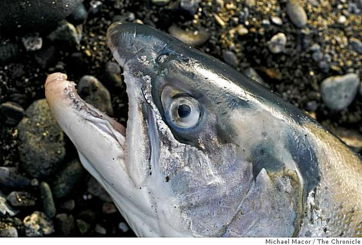 Steelhead fish up on shore after Willson retrieved it from his drift net. Photo By Michael Macor/San Francisco Chronicle Photographed in, Klamath, Ca, on 2/12/08