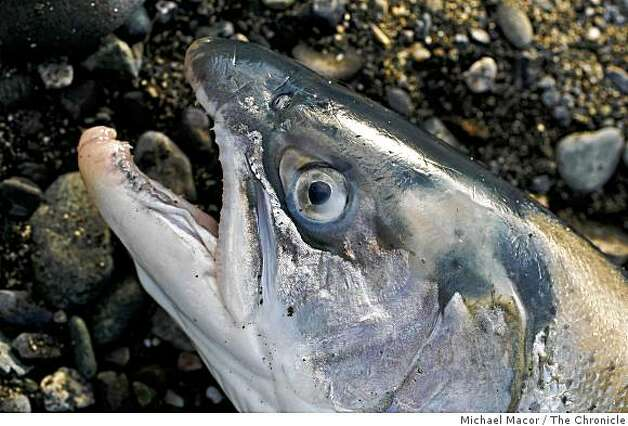 Steelhead fish up on shore after Willson retrieved it from his drift net. Photo By Michael Macor/San Francisco Chronicle  Photographed in, Klamath, Ca, on 2/12/08 Photo: Michael Macor, The Chronicle / SF