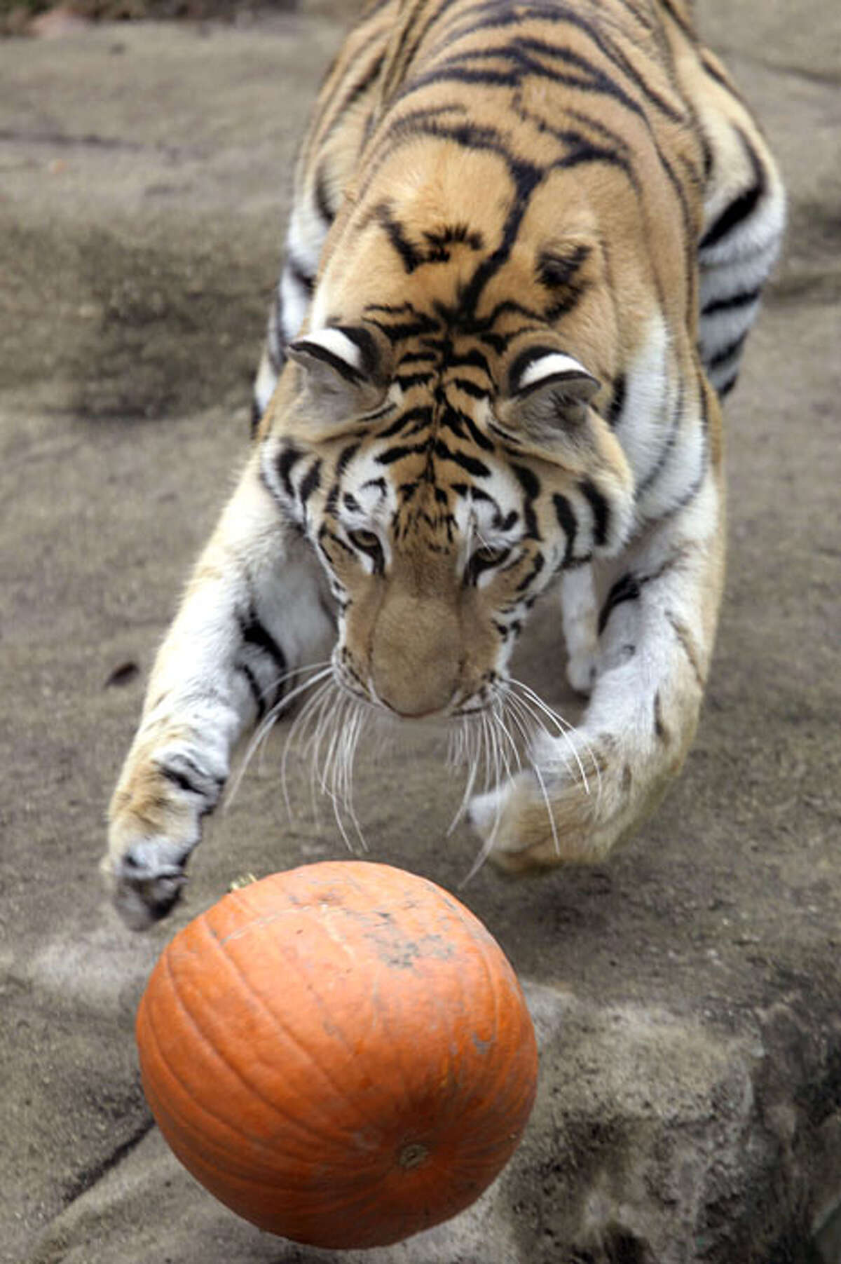 Whirl, a two-and-a-half-year-old Amur Tiger chases a pumpkin at Chicago Zoological Society's Brookfield Zoo in Brookfield, Ill. on Wednesday, Oct. 28, 2009. With the Halloween season upon us, several of the animals, including lions, tigers, polar bears, brown bears, and the gorillas, were given pumpkins to enjoy and play with as part of the zoowide behavioral enrichment program.