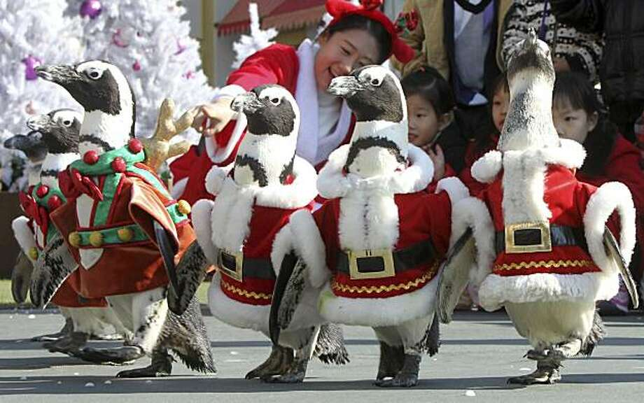 Penguins dressed in Santa Claus costumes walk, as part of promotional event in coincident with the upcoming Christmas at the Everland amusement park in Yongin, South Korea, Tuesday, Nov. 16, 2010. Christmas is one of the biggest holidays celebrated in South Korea with over half the population being Christians. Photo: Shin Young-gun, AP