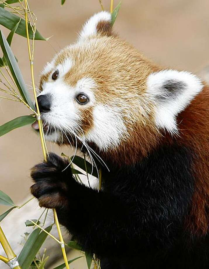 A red panda at the Oklahoma City Zoo takes a bite of bamboo at the zoo in Oklahoma City, Thursday, Oct. 15, 2009. Photo: Sue Ogrocki, AP
