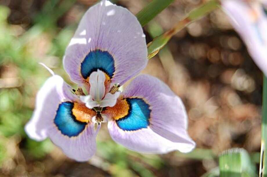 Moraea villosa Photo: Erle Nickel