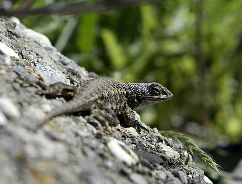 preserve01_062_pc.jpg  The area is a prime habitat for the western fence lizard as well as other wildlife. The Muir Heritage Land Trust is acquiring the 700-acre site from the Fernandez family.  Fernandez Ranch property on 4/30/04 in Hercules.  PAUL CHINN/The Chronicle Photo: Paul Chinn, SFC