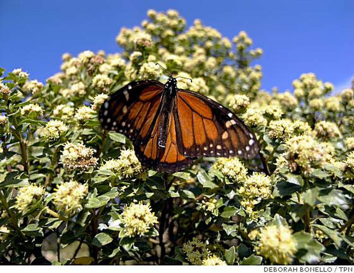 A monarch butterfly at El Rosario reserve in Michoacan state in southwestern Mexico. Millions of monarchs fly there each year from the U.S. and Canada.