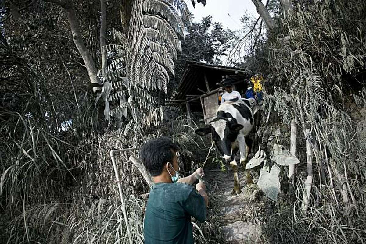 Voluenteers evacuate a cow at Kinahrejo village in Sleman, on October 27, 2010, near Yogyakarta, Indonesia. One of Indonesia's most active volcanoes spewed out clouds of ash and jets of searing gas on Wednesday in an eruption that has killed at least 25 people and injured 14. More than 11,000 villagers living on the slopes of the Mount Merapi volcano are being evacuated after the alert status for an eruption was raised to the highest level.