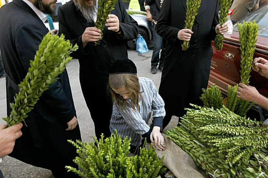 "Ultra Orthodox Jewish men select the ""hadass"" or myrtle, one of the four species which are used during the celebration of Sukkot, the feast of the Tabernacles, in the Ultra Orthodox Mea Shearim neighborhood of Jerusalem on September 29, 2009. Beside the ""hadass"" the three other species are the ""etrog"" (citron), 'aravah' (willow), and 'lulav' (date palm frond) all of which are used in a waving ritual during Sukkot or the Feast of the Tabernacles. The seven-day holiday of Sukkot recalls the 40 years during which the ancient Israelites wandered the desert living in huts following the exodus from Egypt. The fruit is usually harvested when still green, but to be considered kosher and able to be used in the Sukkot rituals the etrog must show signs of ripening. Photo: MENAHEM KAHANA, AFP/Getty Images"