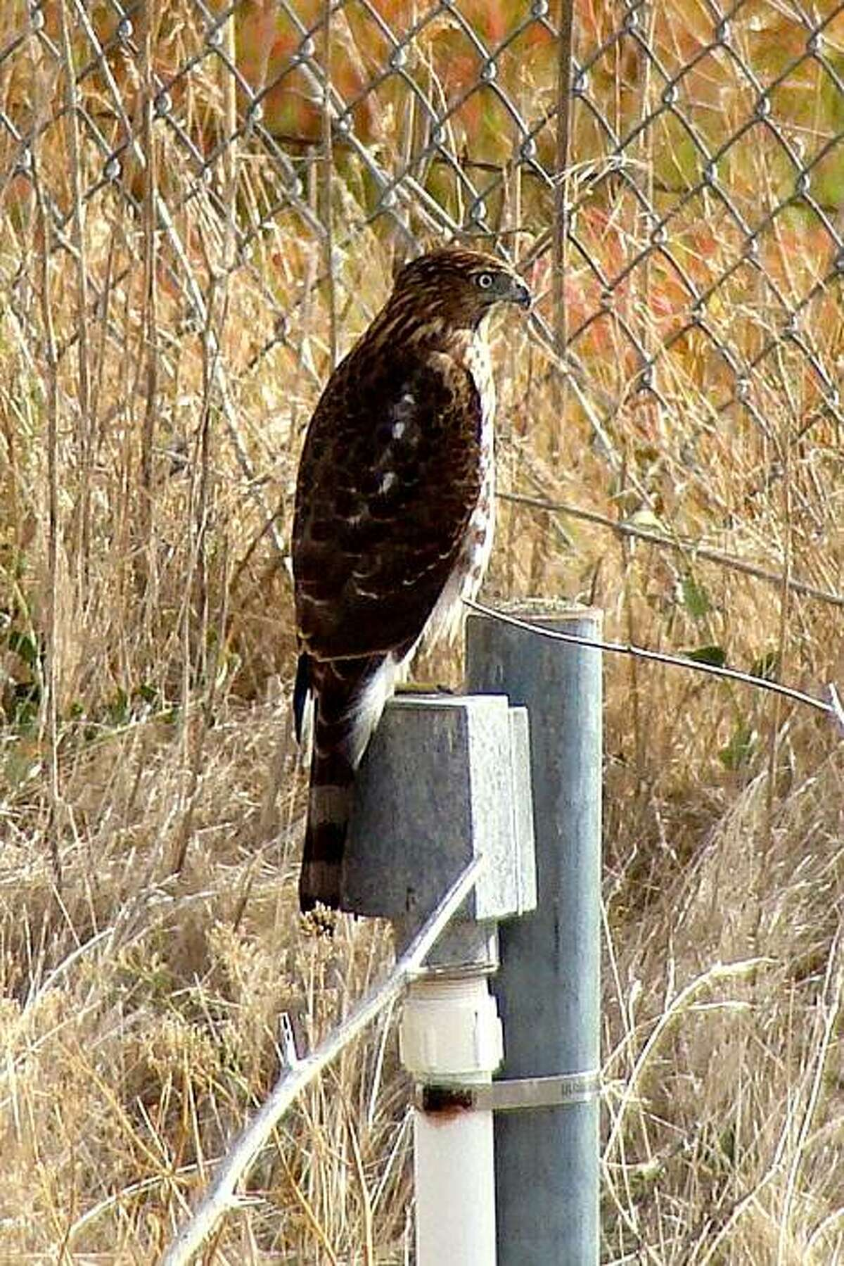 A Cooper's Hawk takes in the view at Ellis Creek wetlands near Petaluma. A tour of the area is one of the events that comprise this weekend's Flyway Festival.