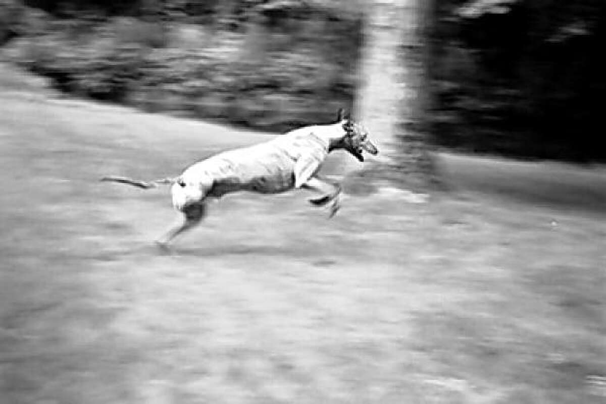 Lucky, a greyhound owned by Meredith Holderbaum, who didn't let losing a leg slow him down.