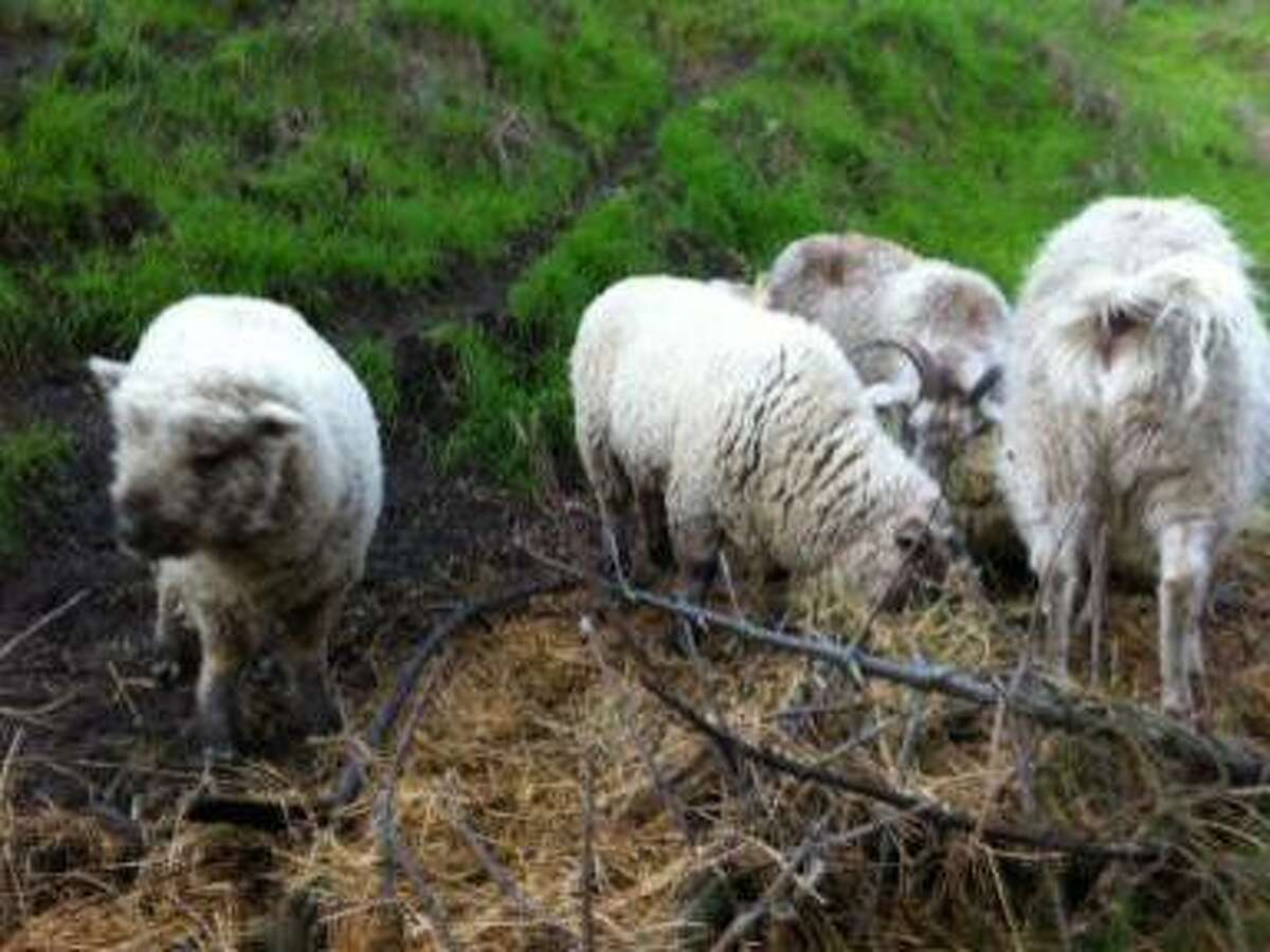 Peter Pan, second sheep from left, was chased over a cliff by a dog Feb. 1 and had to be rescued by Richmond firefighters.