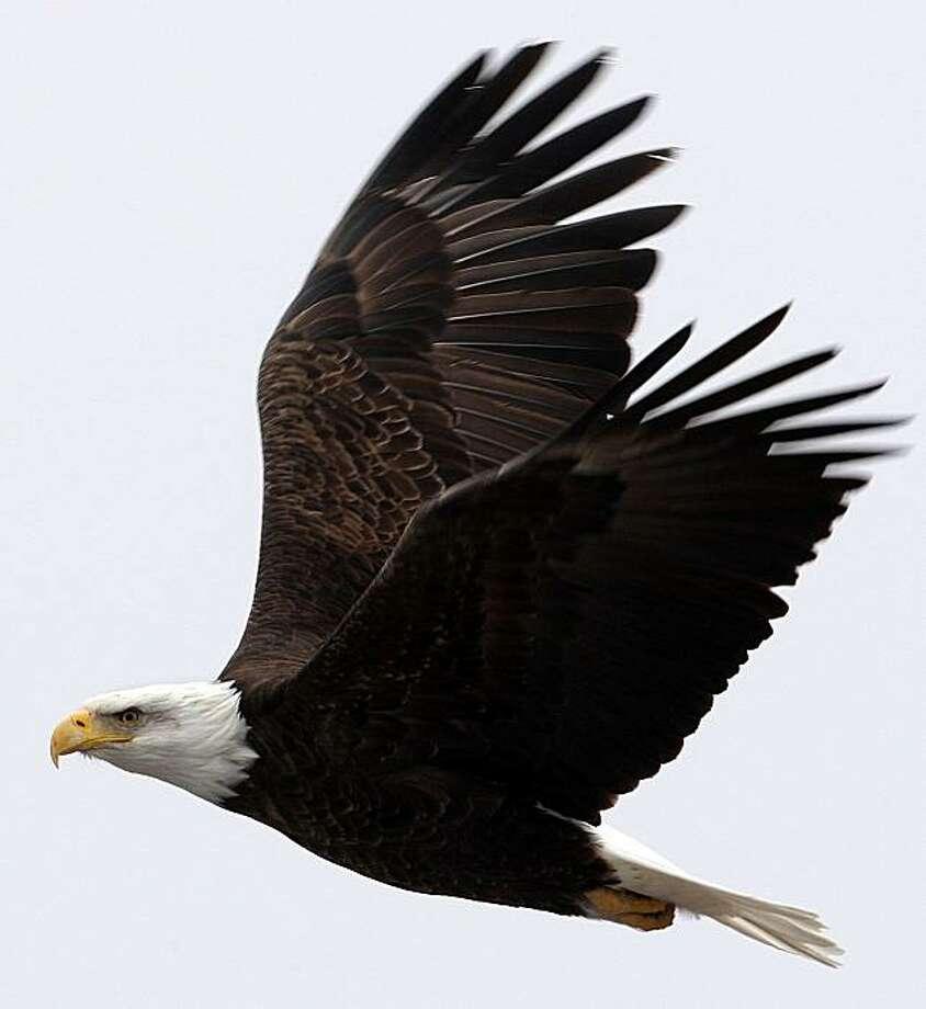 Bald Eagle Photo: Frederic Larson, The Chronicle