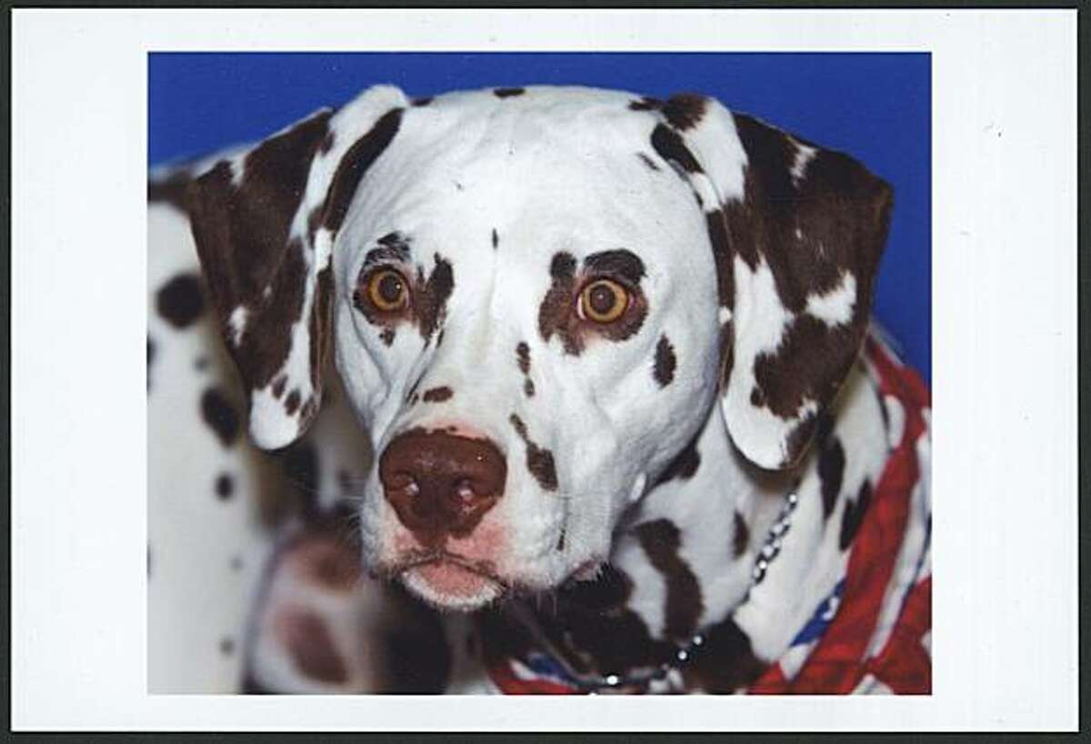 The Golden Gate Kennel Club Dog Show takes place Jan. 29-30 at the Cow Palace. Pictured: Dalmatian.