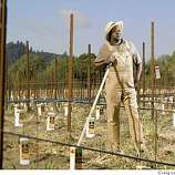 Mac McDonald, owner and winemaker at his Vision Cellars vineyard in Forestville, Calif., on April 16, 2008. He uses orange cartons to protect his growing young grape vine buds.