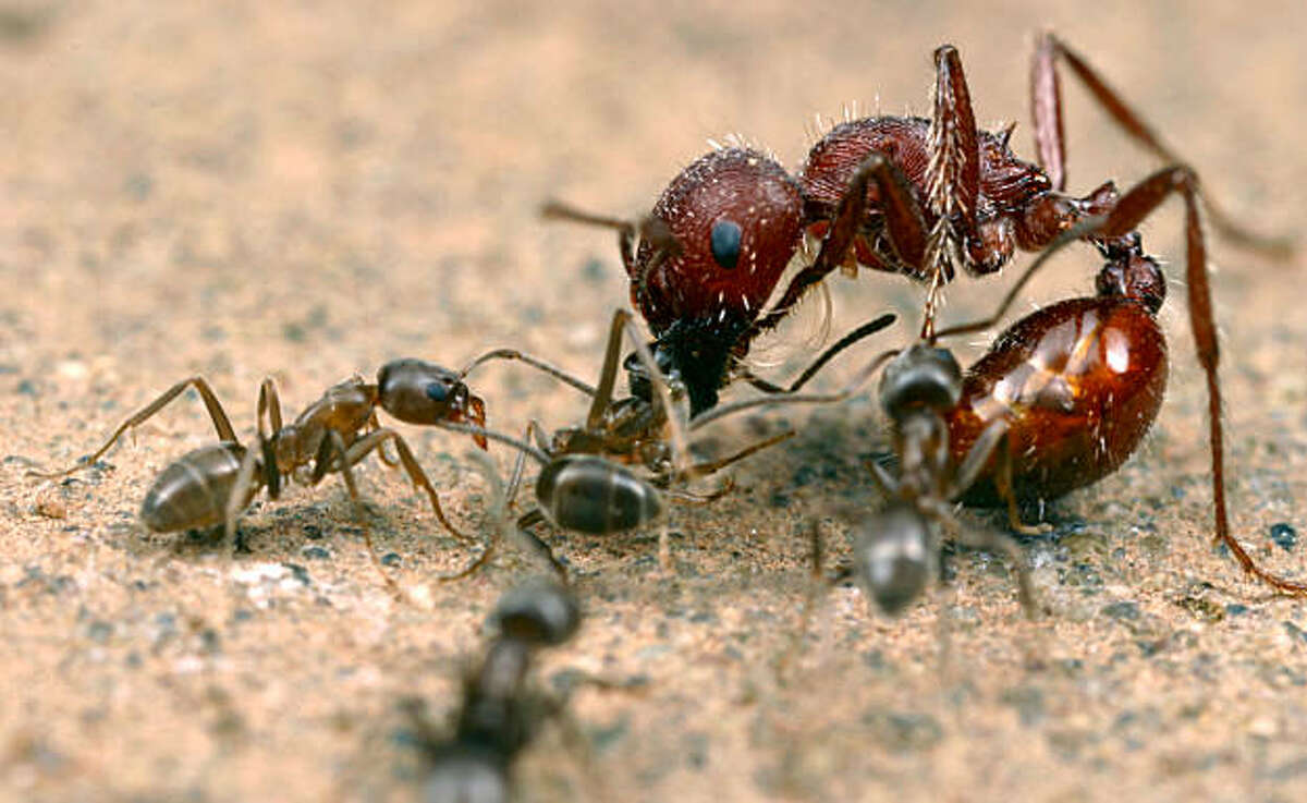 Argentine ants (Linepithema humile) attack a native seed-harvesting ant (Pogonomyrmex) in California.