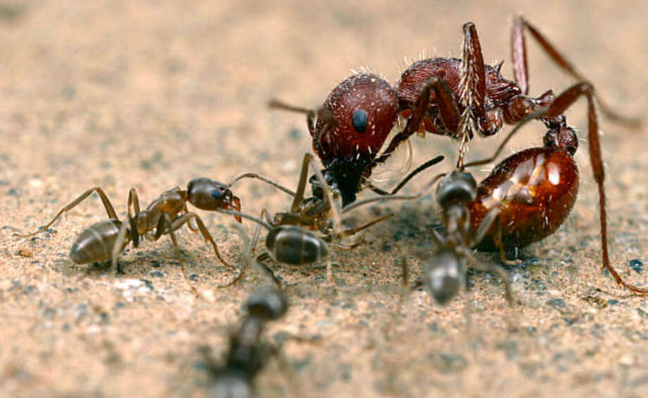 Argentine ants (Linepithema humile) attack a native seed-harvesting ant (Pogonomyrmex) in California. Photo: Photo Credit: Alex Wild