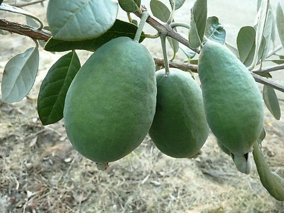 Mark Albert's new feijoa cultivars for Northern California are early season, smooth-skinned with sweet taste. Photo: Mark Albert