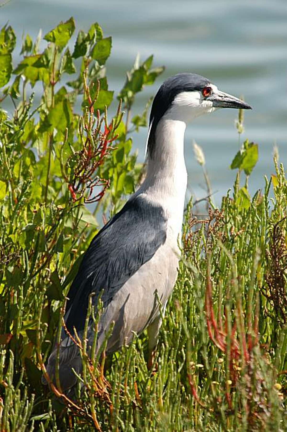 Black Crowned Night Heron, one of the species featured in Golden Gate Park's new app.
