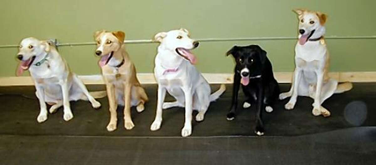 All the light-colored puppies in this mixed-breed litter were adopted quickly, but Cobie, the one black dog, was not.