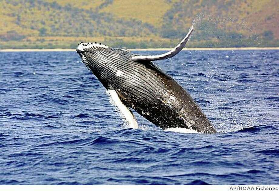 A humpback whale jumps out of the waters off Hawaii. Photo: Anonymous, AP/NOAA Fisheries