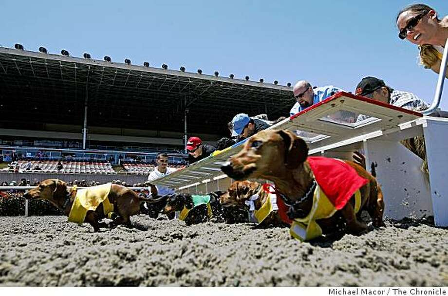 """Out of the gate in heat 2 during the  Golden Gate Fields 2009 Wiener Nationals in Albany, Calif.  on Saturday June 13, 2009. """"Smithers"""" of San Francisco in the number 1 gate, (right). Photo: Michael Macor, The Chronicle"""