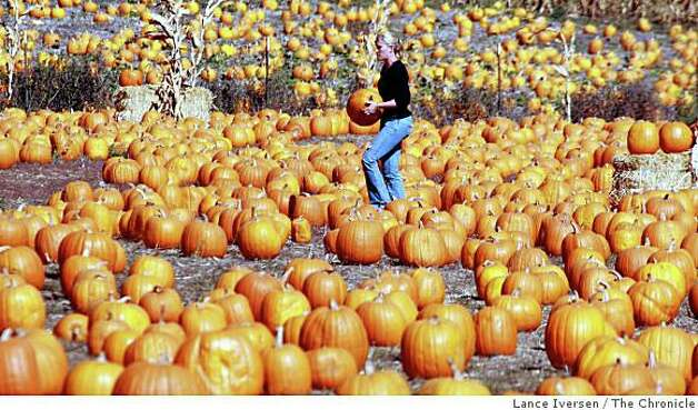 Half Moon Bay resident Jenifer Cozzolino walks through a field of pumpkins at 4-C's Pumpkin Farm in Half Moon Bay on October 24, 2008. Photo: Lance Iversen, The Chronicle