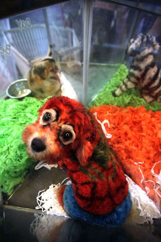 "In this photo taken on June 14, 2010, ""Spiderwoman,"" a 4-year-old female Bichon dyed to look like the Spiderman, looks up from a plastic cage near other dogs dyed to look like a tiger and a zebra at the Ruowen Pet Spa in Beijing where half a dozen dyed dogs on display. Once banned by the Communist Party as bourgeois, pet ownership is booming in China, spawning a slew of new cat and dog care pampering businesses, where pets are treated to pedicures, rose petal bubble baths and massages. Photo: Ng Han Guan, AP"