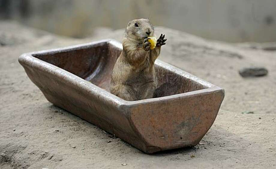 A black-tailed prairie dog enjoys a meal in his enclosure at the Tierpark Friedrichsfelde zoo in Berlin on June 15, 2010. The animals are native to western Texas and Kansas. Photo: Barbara Sax, AFP / Getty Images