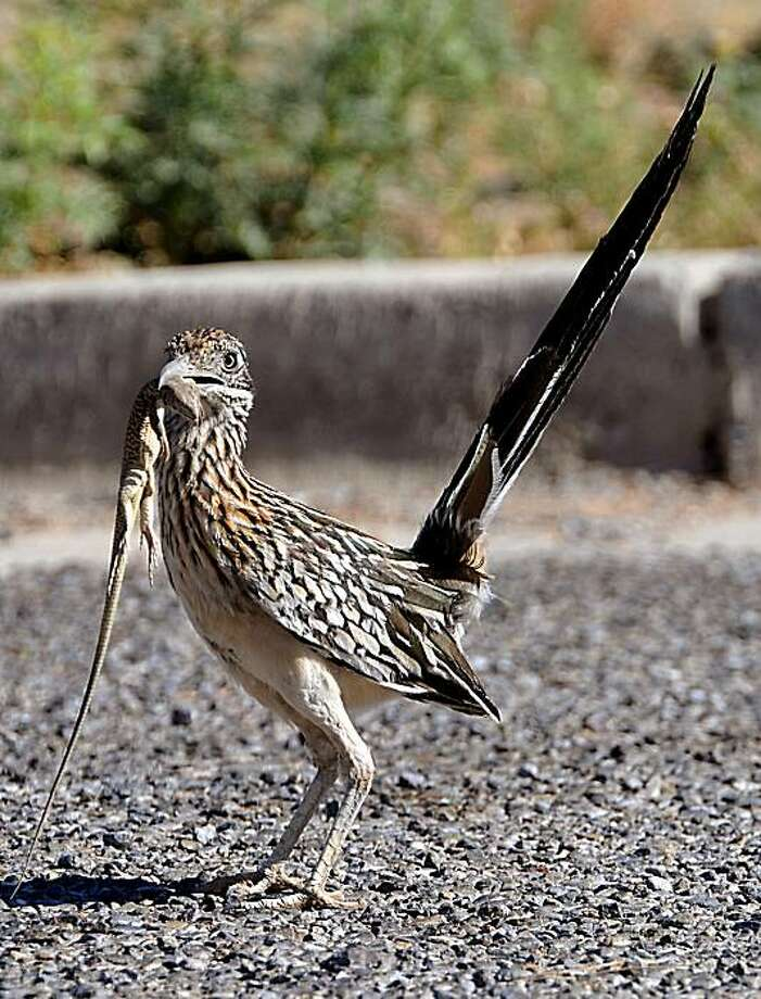 A roadrunner carrying a lizard in its beak surveys its surroundings before scampering away for a better place to finish its meal Monday, June 14, 2010 at White Sands Missile Range, N.M. Photo: Norm Dettlaff, Las Cruces Sun-News