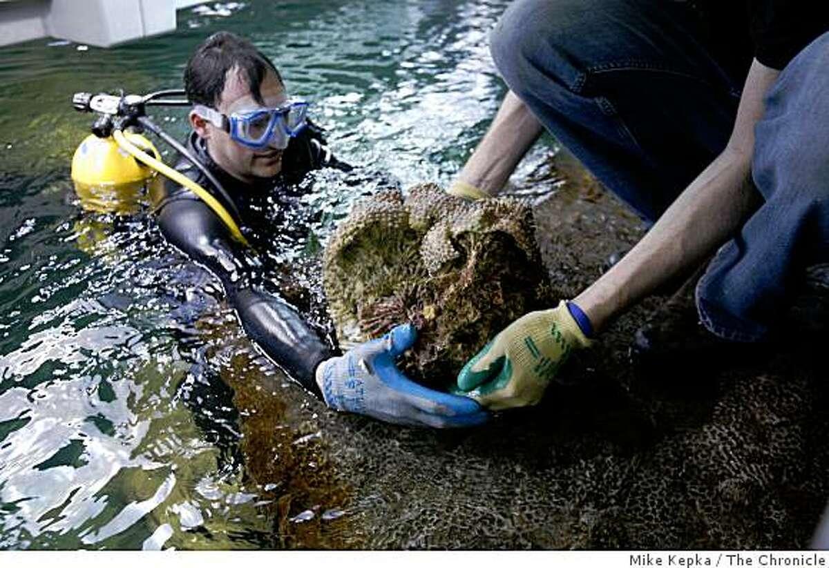 Steinhart Aquarium curator Bart Shepherd, left, and aquatic biologist, Matt Wandell move a 40-pound coral specimen into the aquarium at the new California Academy of Sciences Building in Golden Gate Park on Thursday Feb. 21, 2008 in San Francisco, Calif.