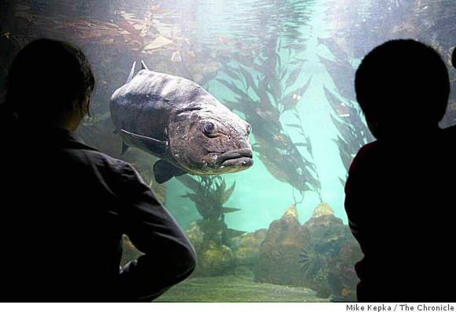 A giant sea bass, sponsored by Dianne Feinstein and Richard C. Blum, swims  in the aquarium at the new Academy of Science on Tuesday Sept. 16, 2008 in San Francisco, Calif. Photo: Mike Kepka, The Chronicle