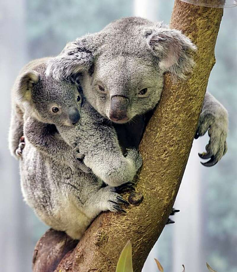 A 9-month-old koala clings to his mother at the Cleveland Metroparks Zoo in Cleveland, on Friday, May 7, 2010.  The zoo's other adult koala also has a baby in her pouch. Photo: Amy Sancetta, AP