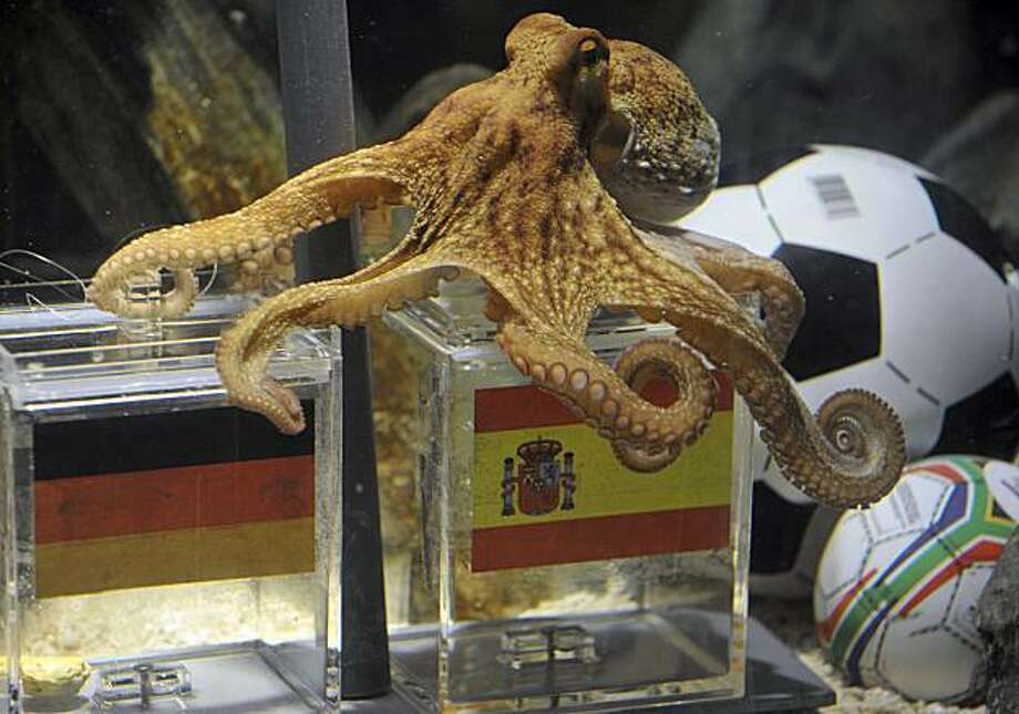 Octopus Paul fixes the spanish box during his oracel for the semifinal match at the World Cup in South Africa between Germany and Spain in the SeaLife Aquarium in Oberhausen, Germany, Tuesday, July 6, 2010. Paul predicted all German matches during the World Cup 100 procent right. Octopus oracle Paul is predicting Germany will be defeated by Spain at the World Cup semifinal.  Sea Life Aquarium's spokesman Daniel Fey said Tuesday that the famous mollusk from Oberhausen chose a mussel from a glass tank marked with a Spanish flag, while ignoring the tank marked with the German colors - indicating a Spanish victory in Wednesday's semifinal. Photo: Mark Keppler, AP