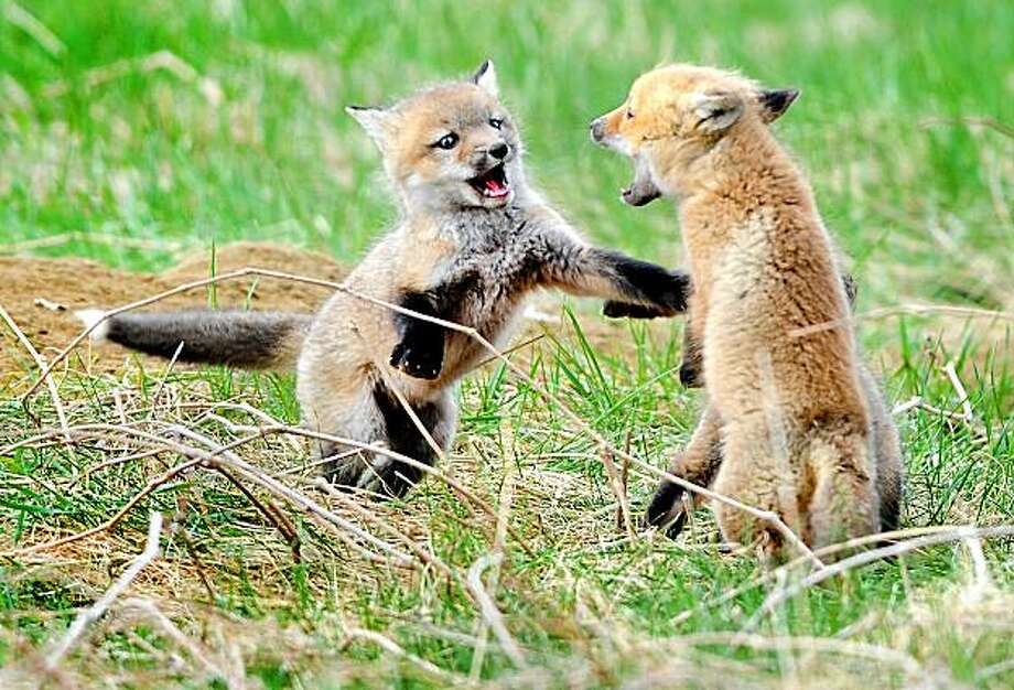A pair of young foxes battle for dominance in a field off Turner Street in Auburn, Maine, Sunday, April 11, 2010. Photo: Russ Dillingham, The Sun-Journal