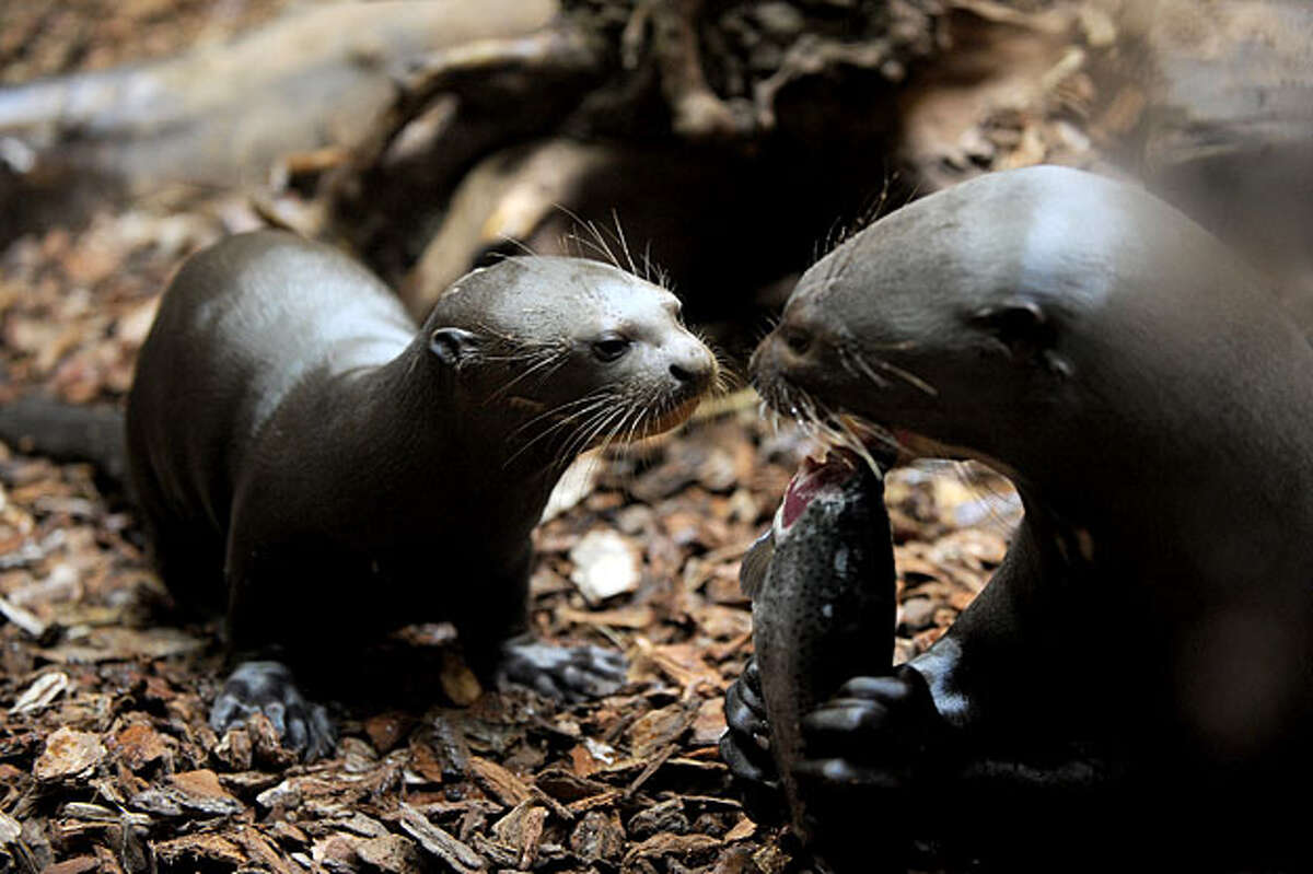 A young giant otter (L) watches its father