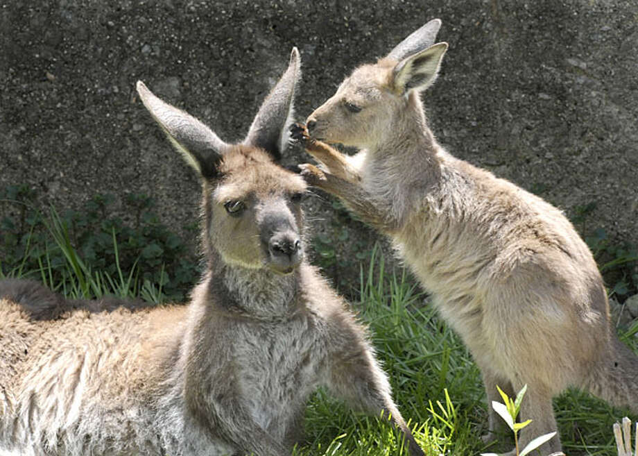This photo provided by the Chicago Zoological Society shows, Daisy, one of the Brookfield Zoo's kangaroos  and her 8-month-old kangaroo joey, Wednesday, April 28, 2010 in Brookfield, Ill. The unsexed joey, emerged from its mom's pouch late last month andis spending more time out of the pouch exploring its new surroundings. Photo: Jim Schulz, Chicago Zoological Society