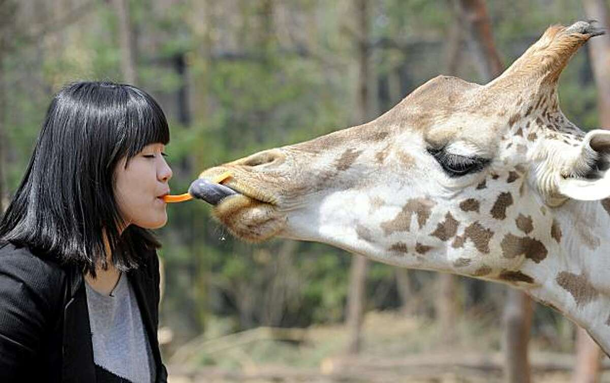 A South Korean woman feeds a piece of carrot to a giraffe with her mouth during an event at the Everland amusement park in Yongin, south of Seoul, on April 8, 2010. The event signaled the opening of a safari for grass-eating animals at the park.