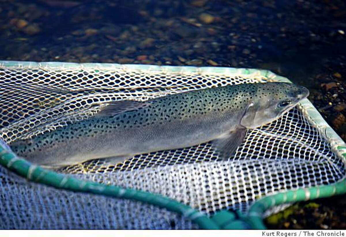 A coho salmon is released into Salmon Creek in Sonoma County.