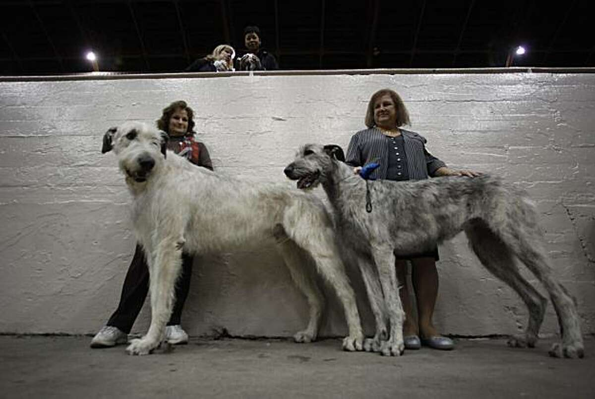 """Lenora Deck (left) and Gail Hawksworth, both from Ahwahnee, Calif. are dwarfed by their Irish Wolfhounds, """"Cruiser"""" and """"Wow"""" as they wait for their turn to show at the 103rd annual Golden Gate Kennel Club All-Breed Dog Show at the Cow Palace in Daly City, Calif. on January 25, 2009."""