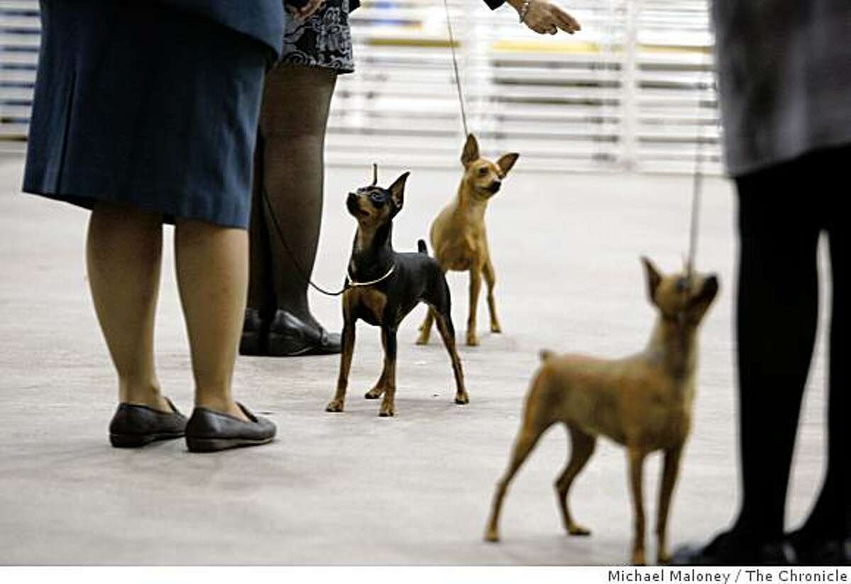 Miniature Pinschers await their turn to impress the judge during the 103rd annual Golden Gate Kennel Club All-Breed Dog Show at the Cow Palace in Daly City, Calif. on January 25, 2009.