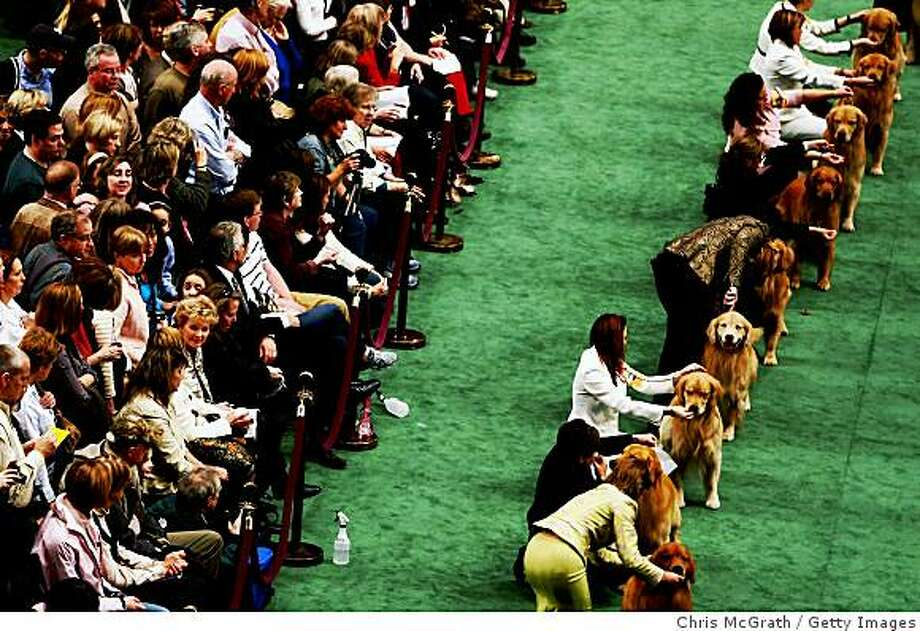 NEW YORK - FEBRUARY 10:  Golden Retrievers stand in a line during day two of the 133rd Annual Westminster Kennel Club Dog Show at Madison Square Garden February 10, 2009 in New York City. Over 2,500 dogs from 48 states have competed in this years show.  (Photo by Chris McGrath/Getty Images) Photo: Chris McGrath, Getty Images