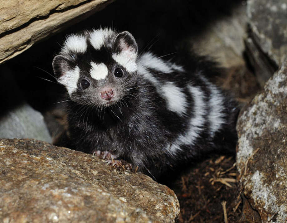 """In this photo released by the Wildlife Conservation Society, a western spotted skunk peeks out from between the rocks at the Bronx Zoo in New York, Friday, March 5, 2010. Normally native to western North America, this new arrival makes her home in the Bronx Zoo's """"Mouse House."""" Photo: Julie Larsen Maher, AP"""