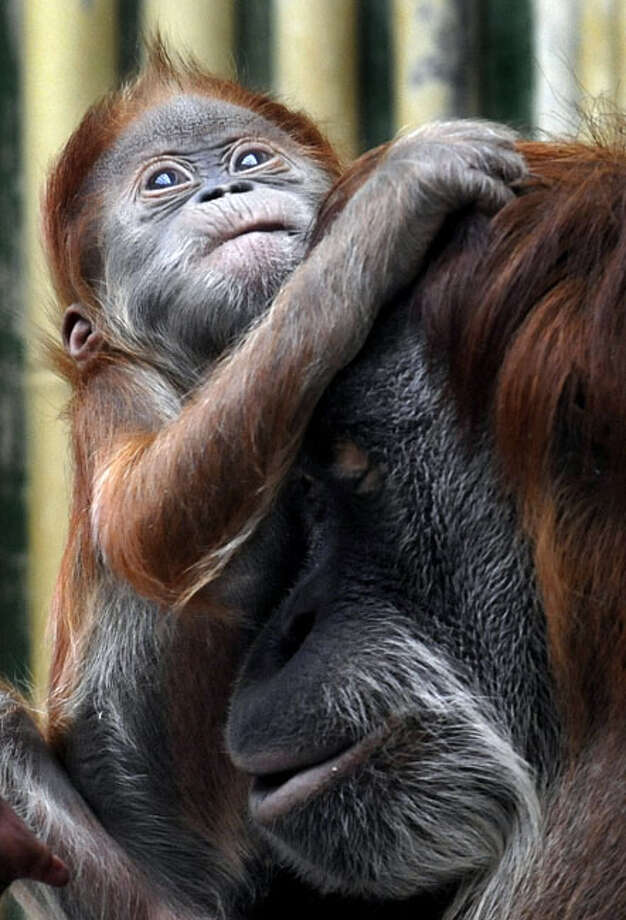 Three-month-old Orang Utan baby Dodi, left, plays with her mother Daisy in the zoological garden in Dresden, Germany, Tuesday, Feb. 23, 2010. Photo: Matthias Rietschel, AP