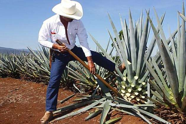 Cultivation of the agave plant in Mexico. Photo: David Prut, Shutterstock.com