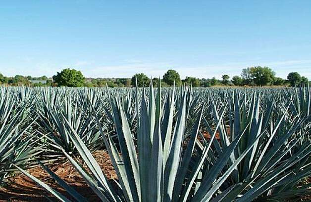 Blue-gray agave plants stretch to the horizon in Mexico. Photo: Jesus Cervantes, Shutterstock.com