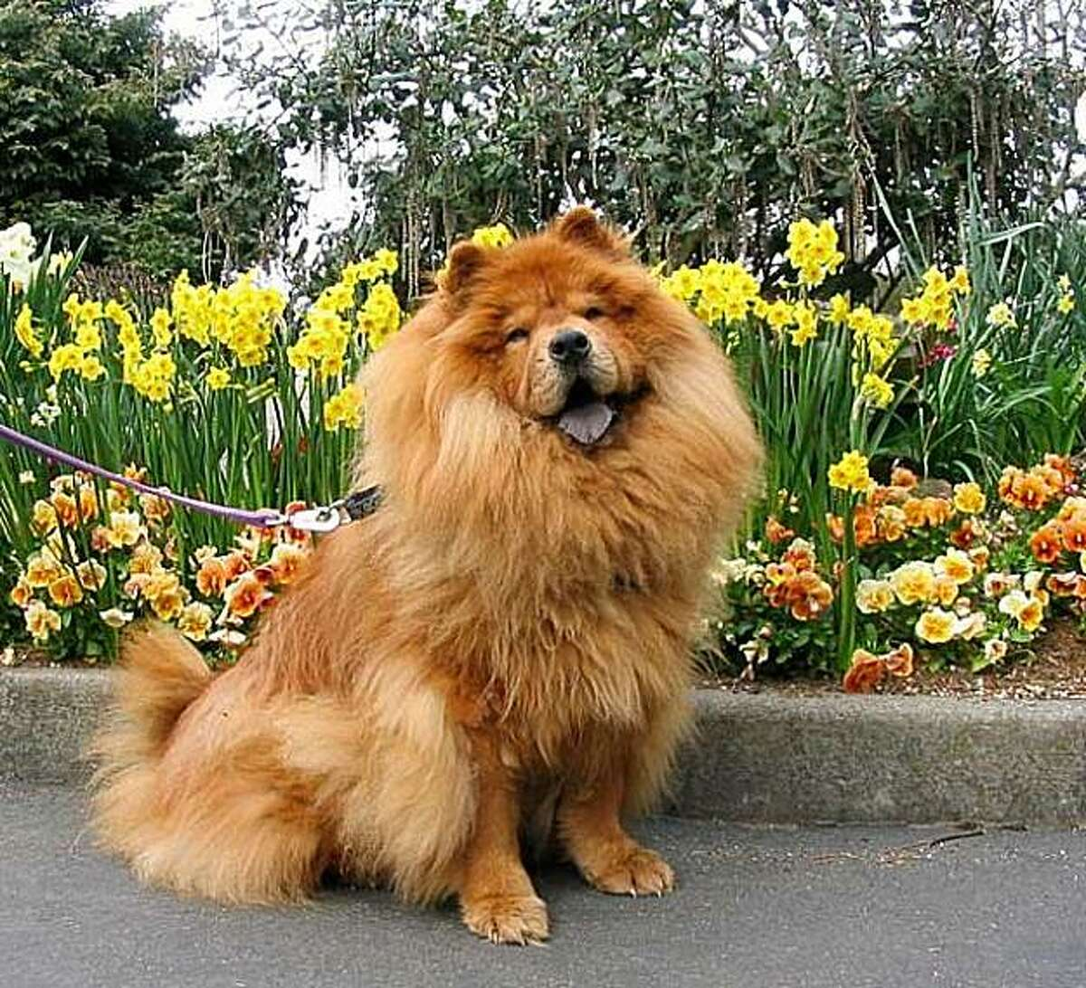 Ruskin, a chow-chow whose owner is concerned he may have received recalled ketamine during a surgical procedure in December.